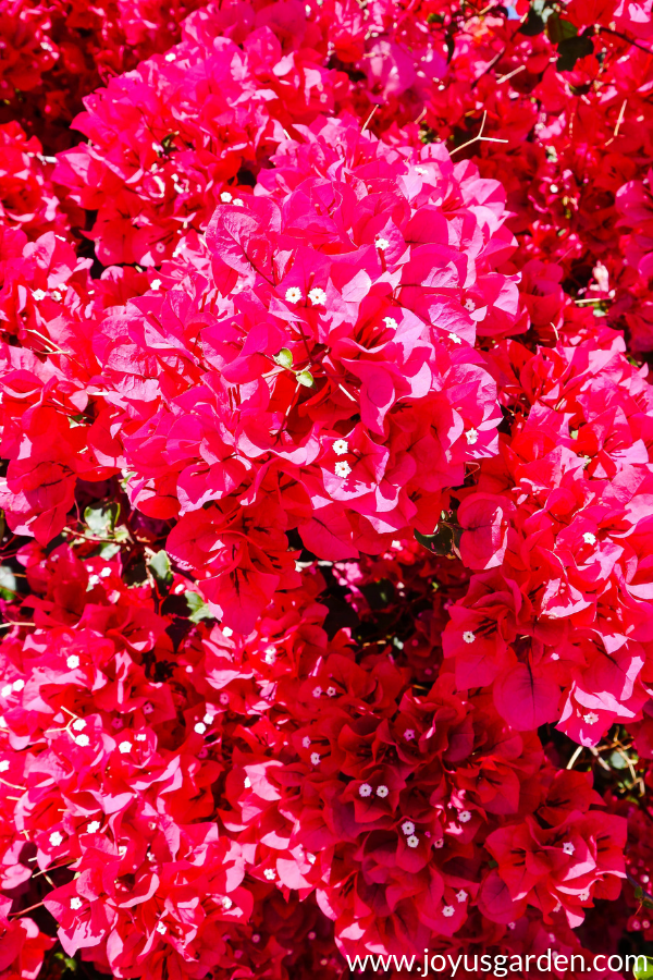 close up of a beautiful rose-red bougainvillea in full bloom