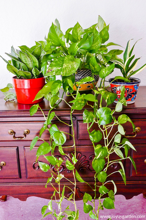 1 golden pothos sits in between 2 small snake plants on a table