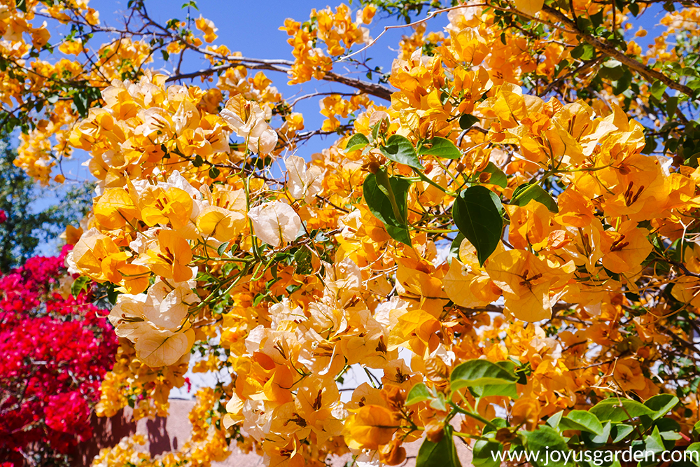 a yellow-gold bougainvillea gold rush against a beautiful blue sky