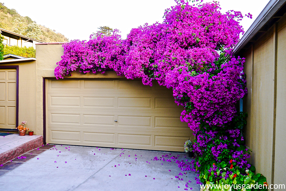 a beautiful magenta-purple bougainvillea glabra in full bloom grows up & over a garage
