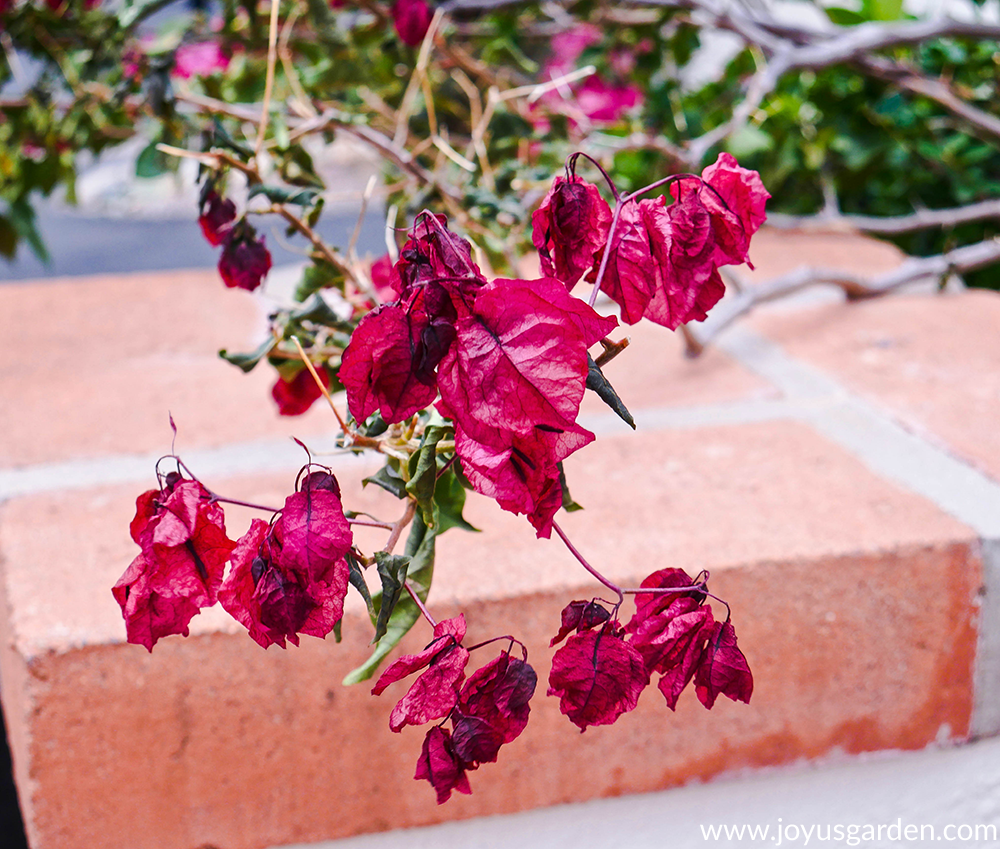 close up of a bougainvillea which has been hit by freeze