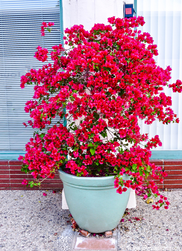a beautiful rose-red bougainvillea in full bloom grows in a light blue ceramic container