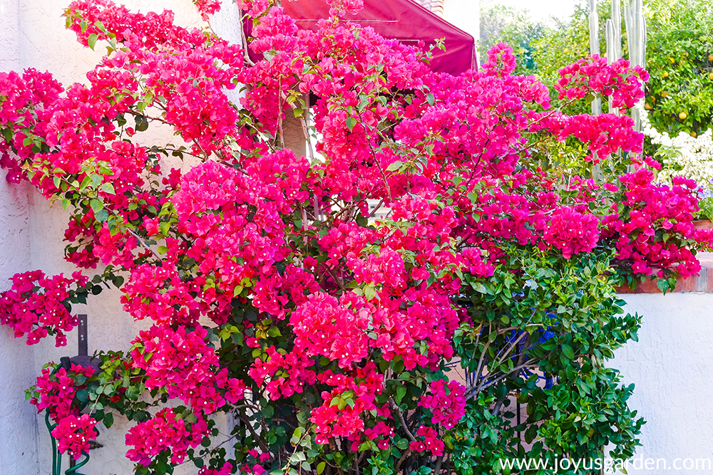 a bougainvillea red-rose Barbara Karst in full bloom