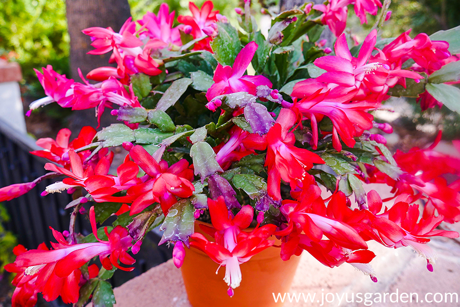a christmas cactus (thanksgiving cactus) covered in red flowers grows in a terra cotta pot
