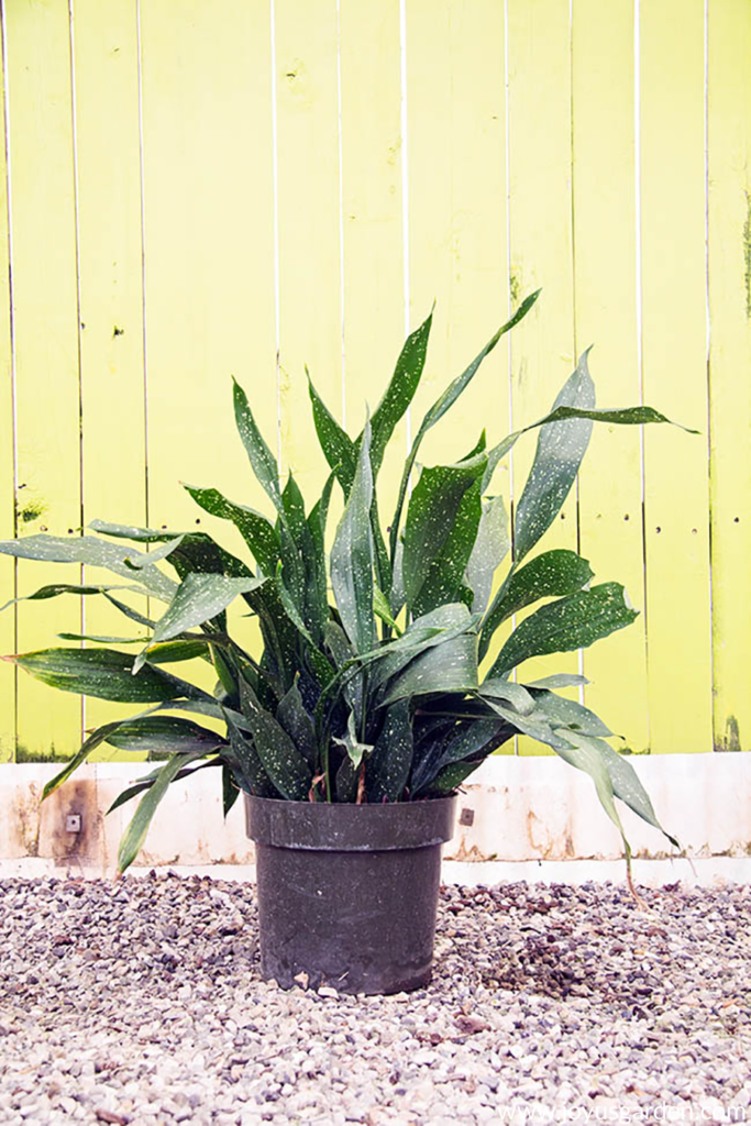 a dwarf cast iron plant in a black grow pot sits in front of a yellow wall