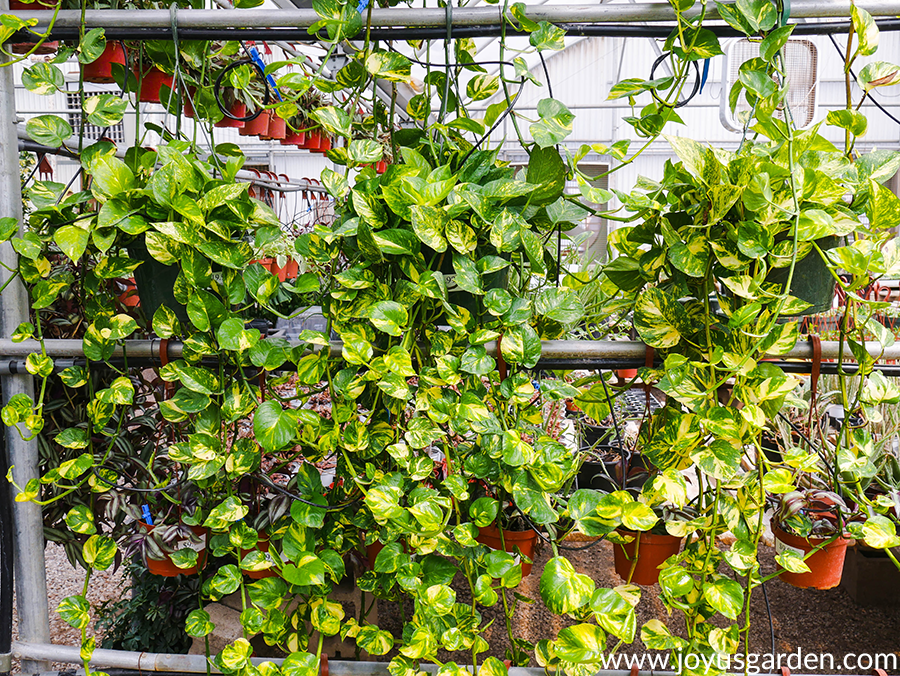 golden pothos with long trails hang on a pipe in a greenhouse