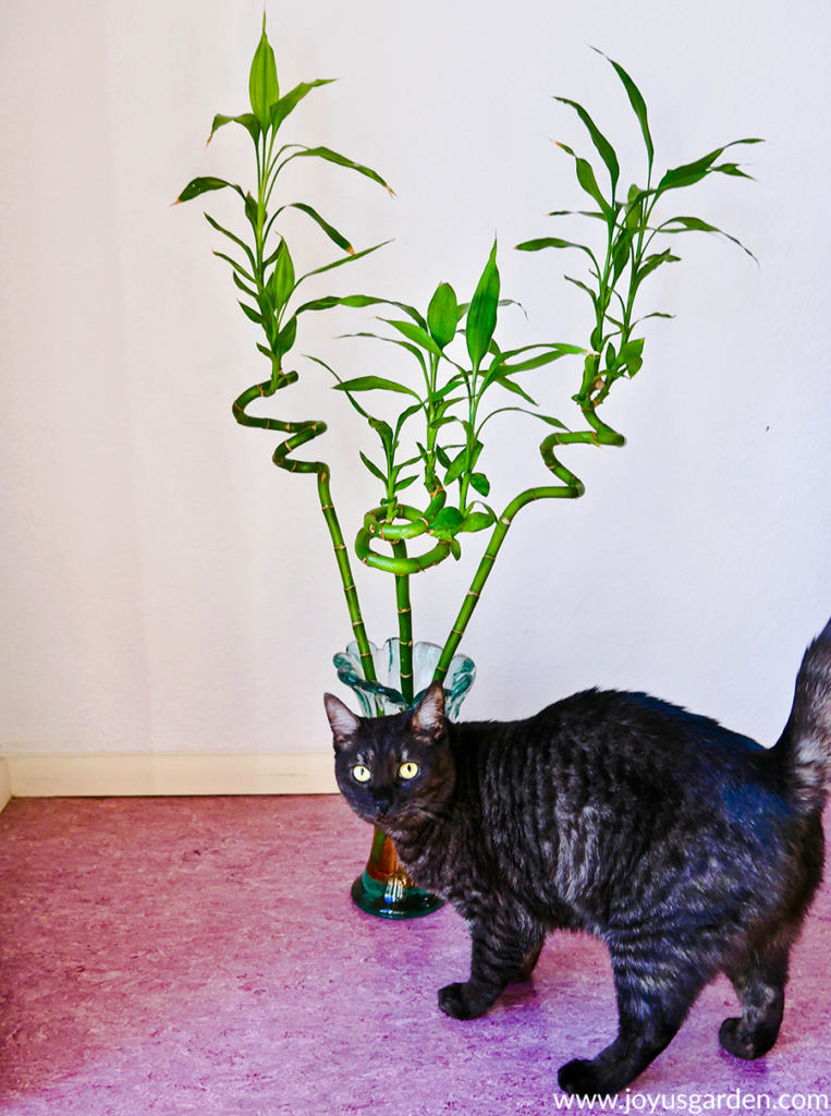 a vase with 3 spiral stems of lucky bamboo sits on the floor behind a grey tabby cat