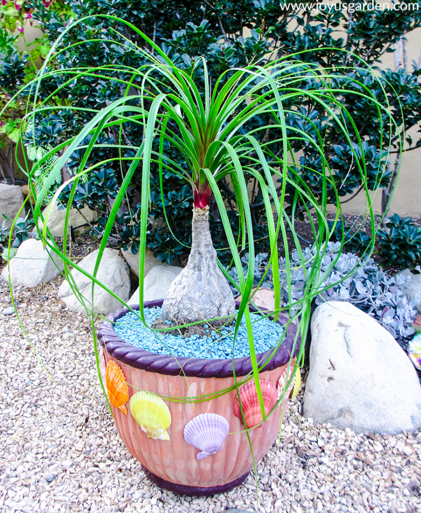 a ponytail palm grows in a terra cotta pot adorned with shells in a front yard