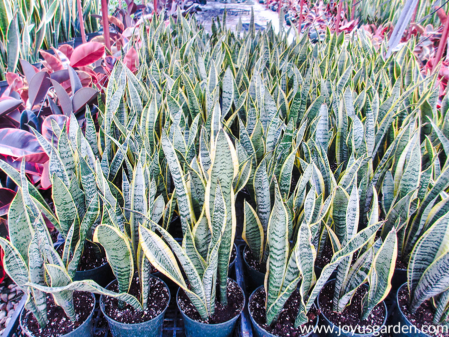 looking down at many snake plants in a greenhouse