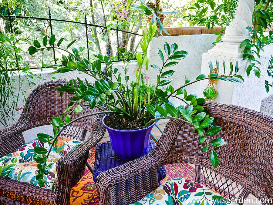 a zz plant in a purple pot sits on a table in between 2 chairs on a patio