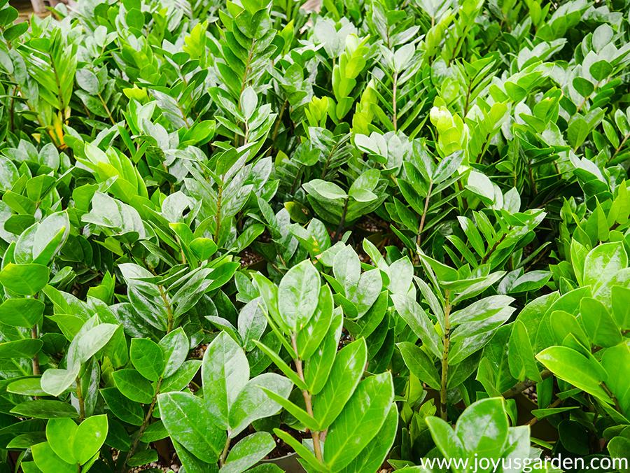 close up of many glossy green ZZ Plants
