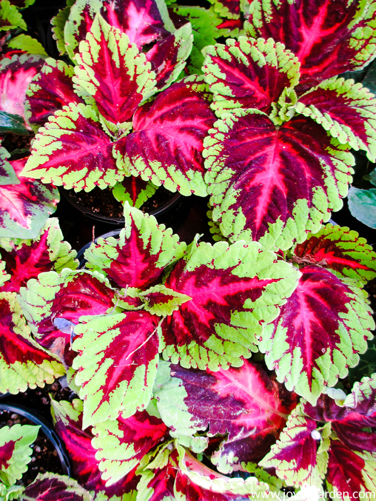 Detail of colorful coleus plants with light green & brilliant red foliage