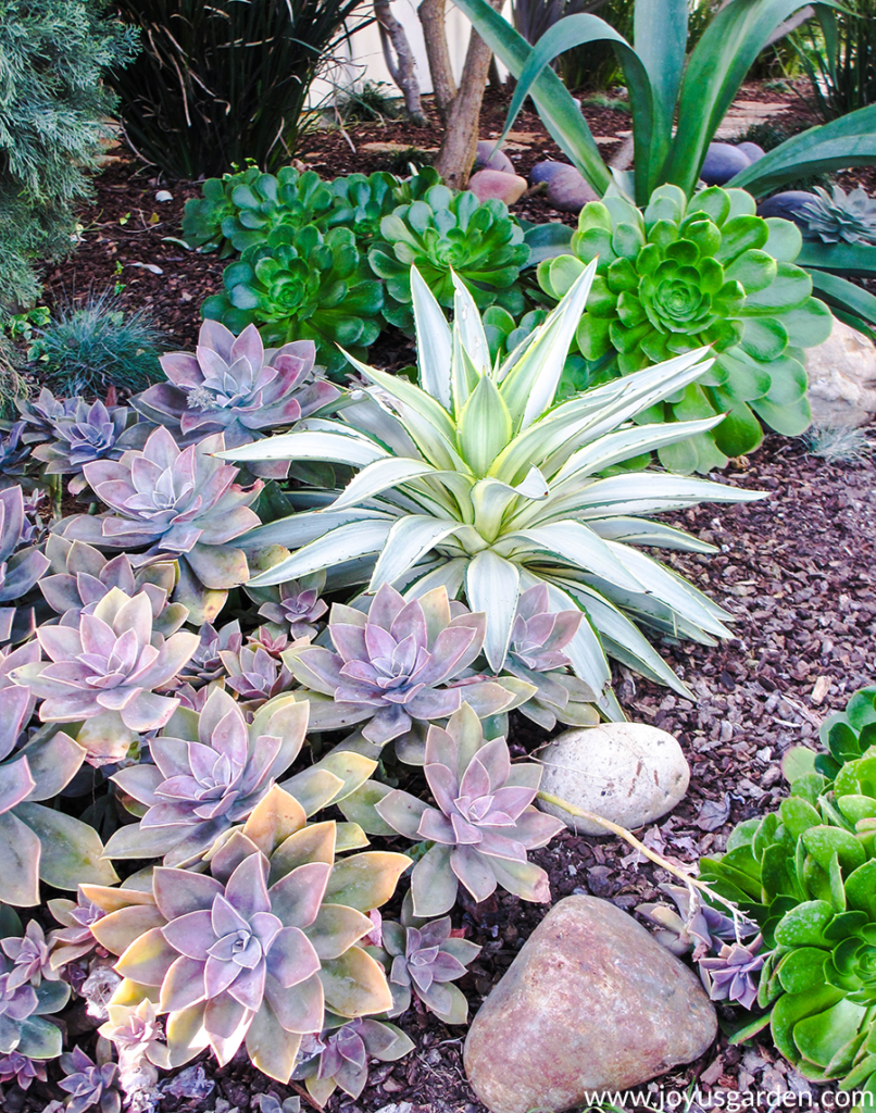 a beautiful succulent garden in shades of mauve, brilliant green, & white