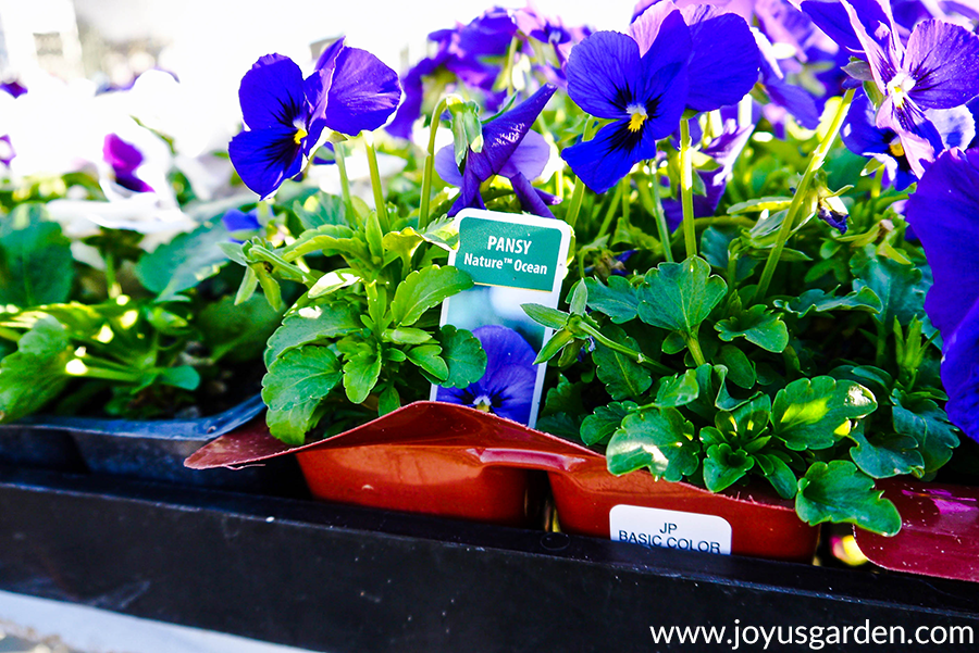 close up of brilliant blue pansies in 6-paks