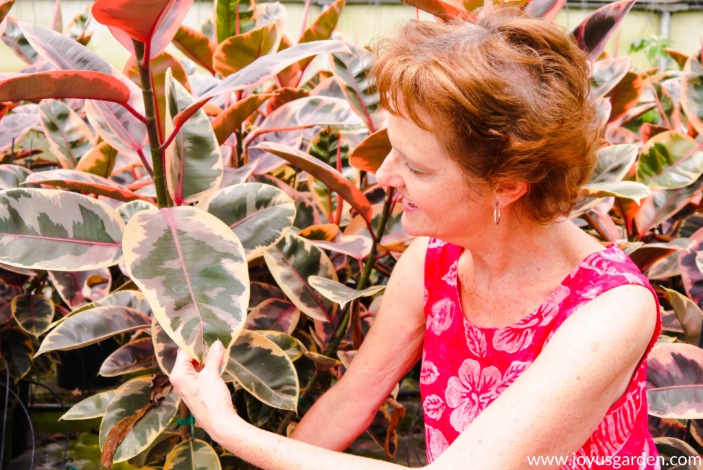 nell foster of joy us garden is looking at & touching ruby rubber plants