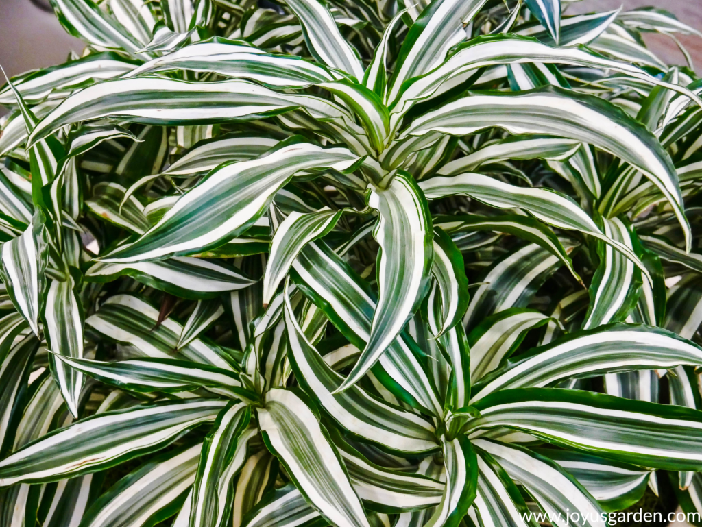 Dracaena Green Stripes