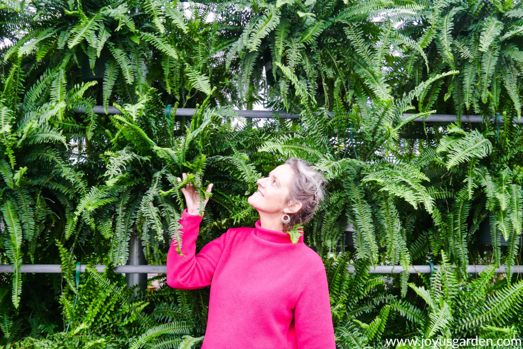 nell foster of joy us garden looks at a wall of hanging boston ferns