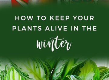 Oh how we love our indoor plants! They liven up our homes & add so much beauty. Did you know that how you maintain them in the cooler, darker is different than the rest of the year? Here are 16 winter houseplant care tips for you.