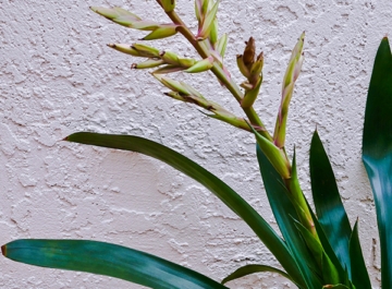 close up of a a bromeliad flower which is loosing its color & the tips are turning brown
