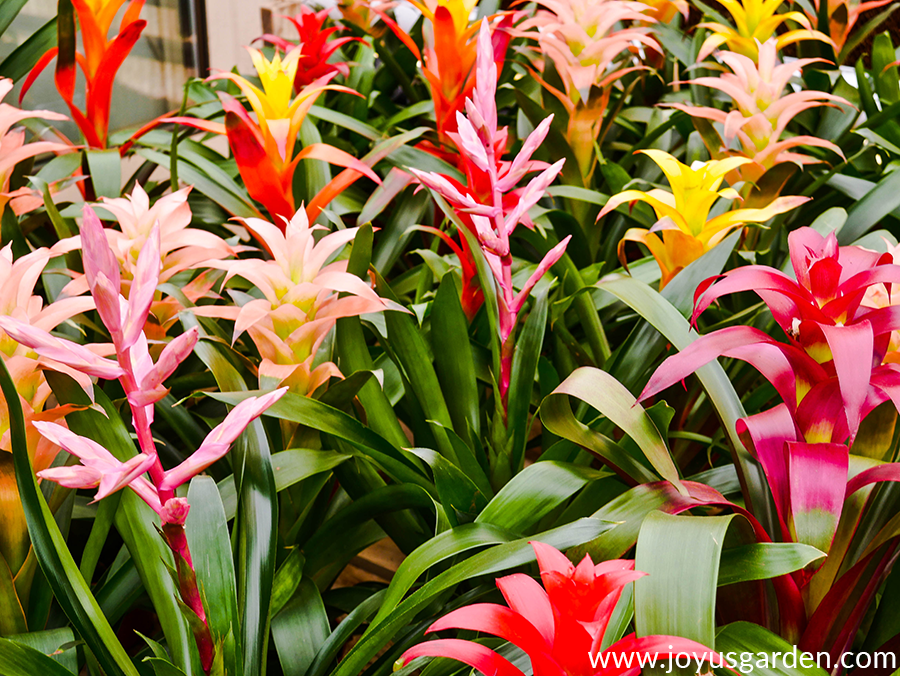 close up of colorful guzmania bromeliad flowers
