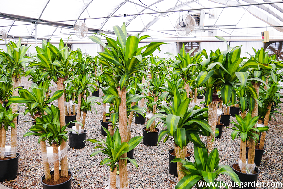 rows of 6' dracaena massangeana in multi cane forms in a grower's greenhouse