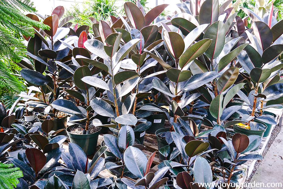 rows of ficus elastica burgundys in a grower's greenhouse