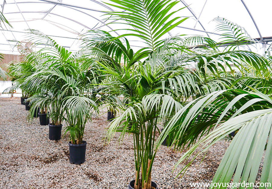 rows of 5-6' kentia palms in a grower's greenhouse