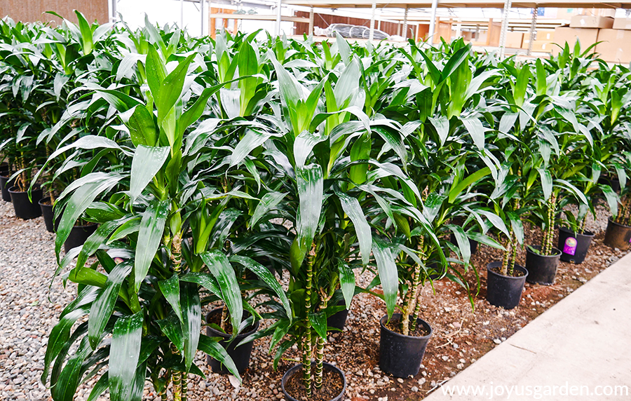 rows of 5-6' dark glossy green dracaena lisas in a grower's greenhouse
