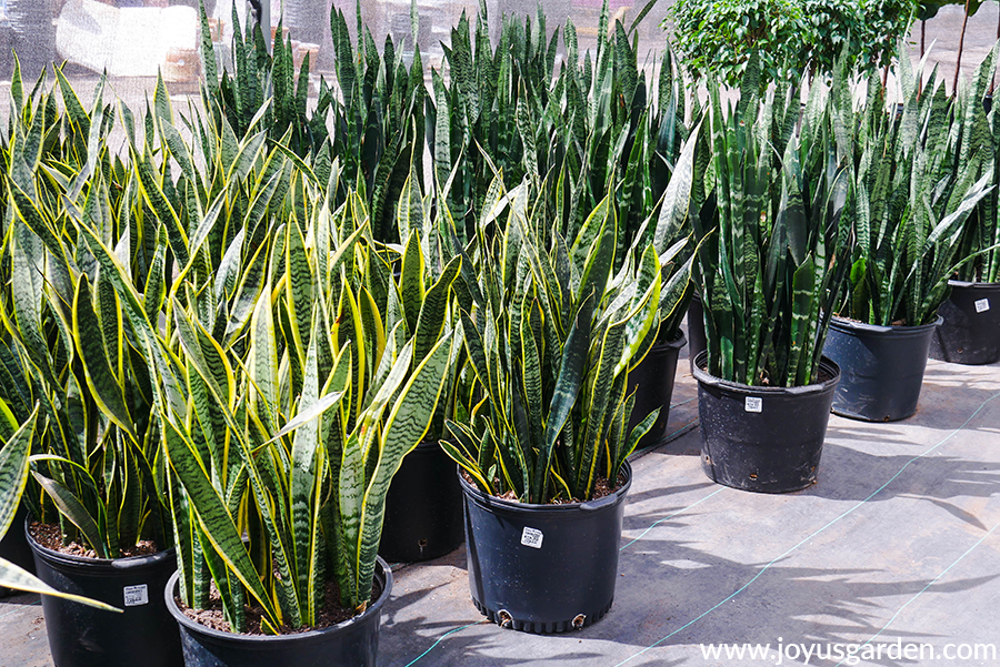 rows of large snake plants in black grow pots at a grower's greenhouses