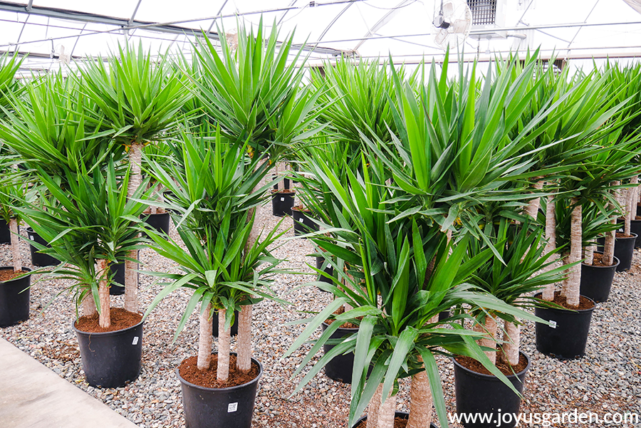 rows of 6' yucca elephantipes in multi cane form in a grower's greenhouse