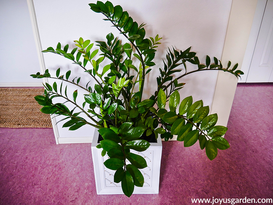 a large glossy green zz plant in a white square pot sits on a pink floor
