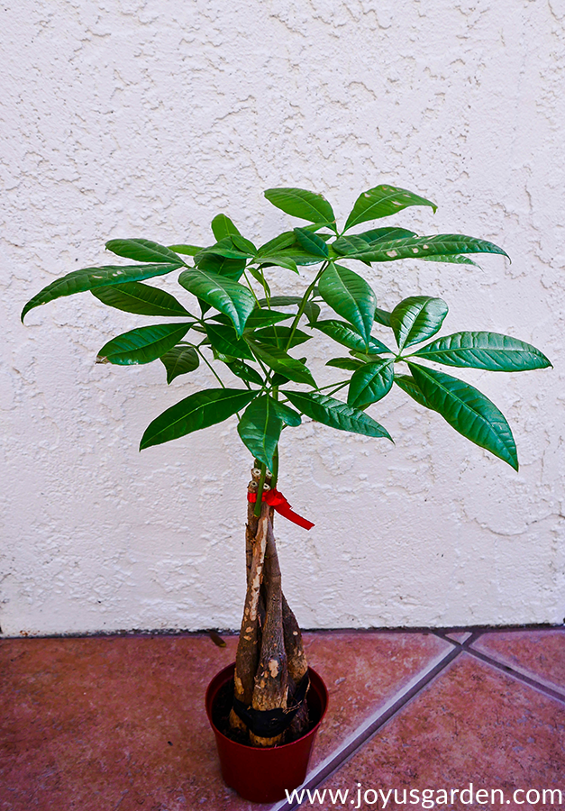 a small money tree (pachira) tied with a red ribbon grows in a small grow pot