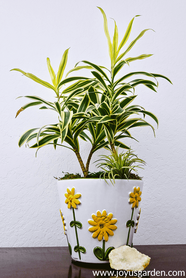 a dracaena song of india in a white ceramic pot with yellow flowers sits on a table next to a crystal geode