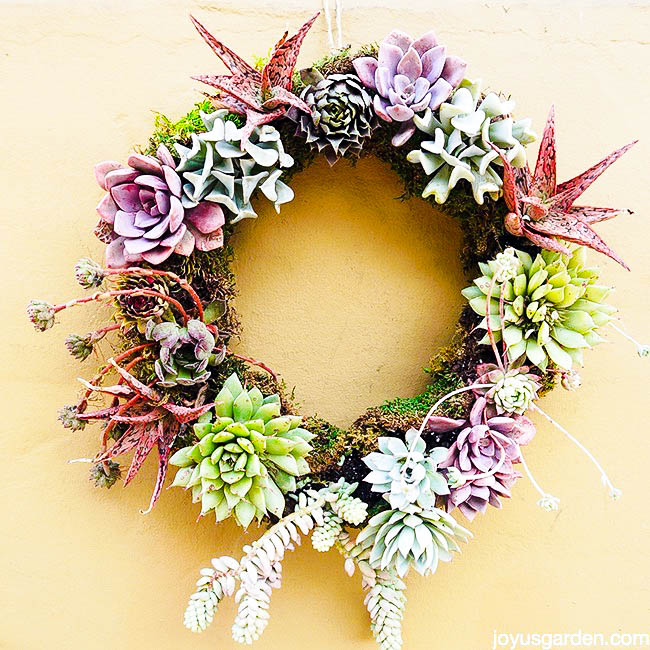 close up of a living succulent wreath with a variety of pink, mauve & green succulents