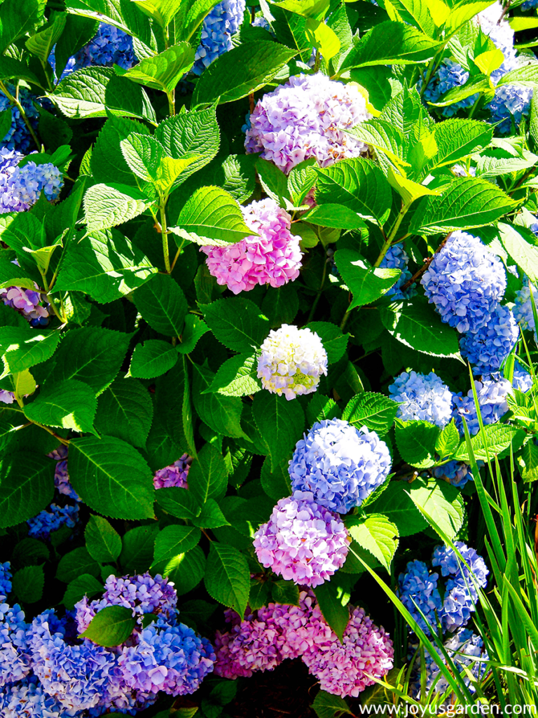 close up of a hydrangea bush covered in pink & blue flowers