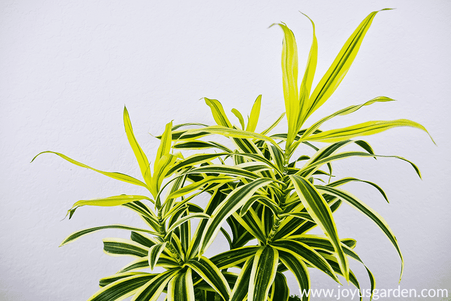 Here's that vibrant chartreuse foliage up close. on the dracaena reflexa plant.