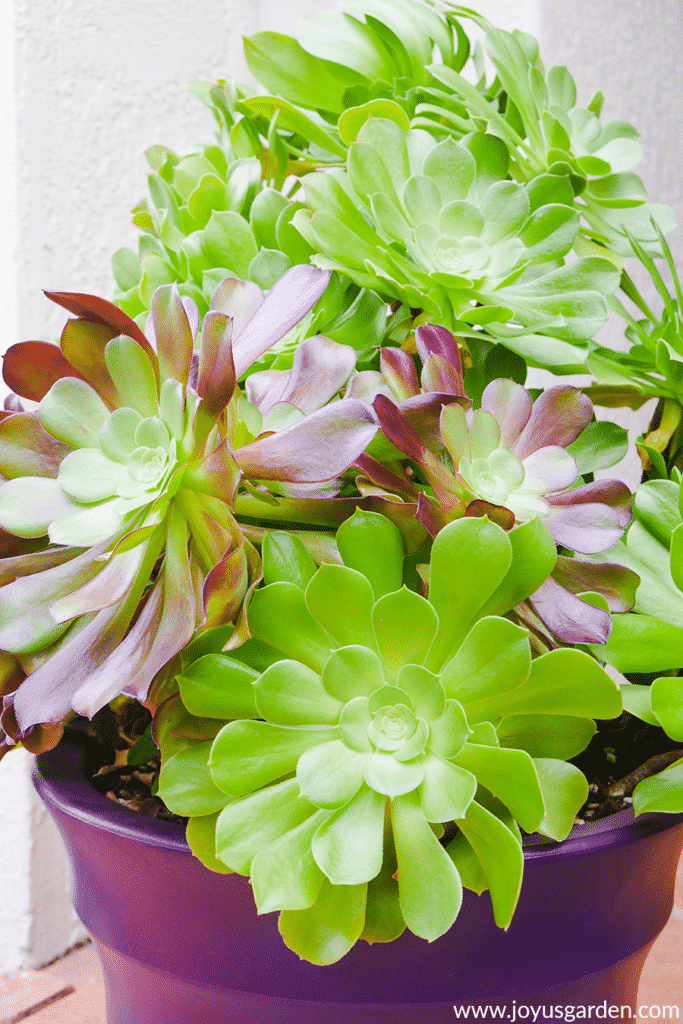 close up of aeonium arboreums which are green and green tinged with burgundy