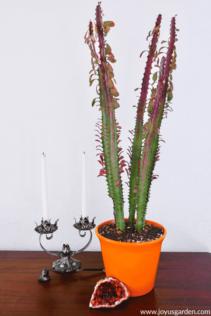 a euphorbia trigona rubra in an orange pot with a geode at the base sits on a table next to a candelabra