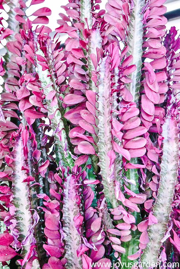Repotting A Euphorbia Trigona: The Mix To Use & a Good Trick To Know