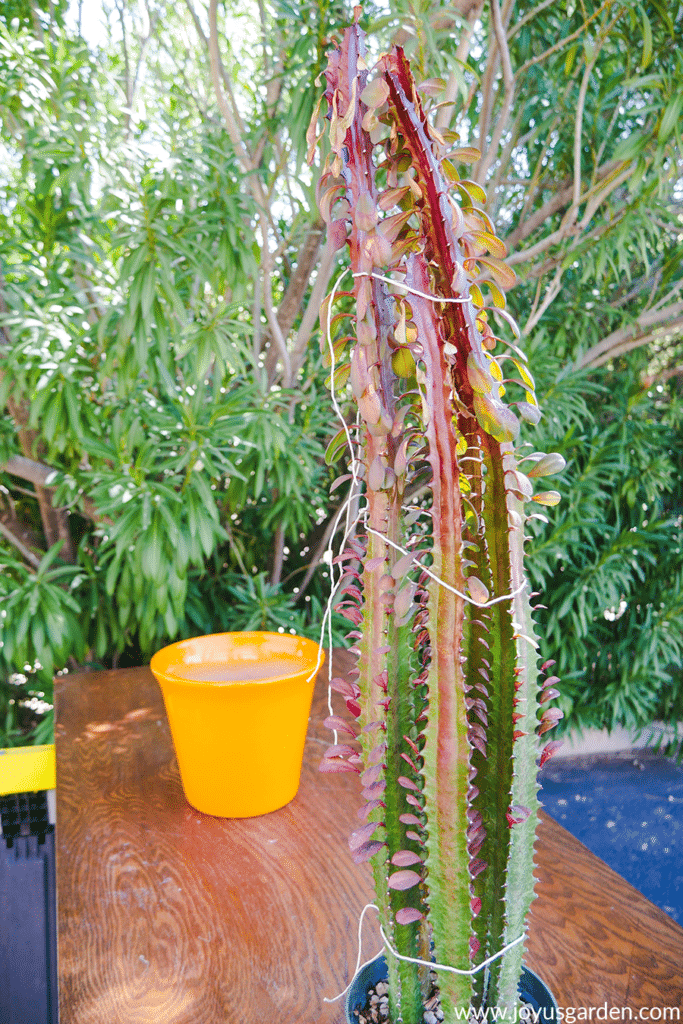 the stems of a euphorbia trigona rubra are tied together in 3 places on a work table with a bright yellow pot in the background