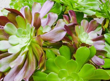 close up of large aeonium arboreums in a purple pot