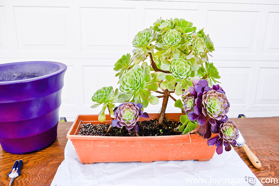 aeonium arboreum cuttings in a low plastic terra cotta planter next to a large purple pot