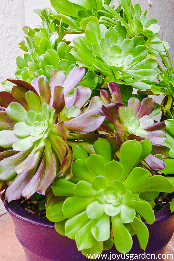 close up of large aeonium arboreums in a purple pot