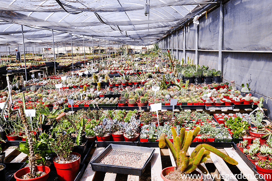 looking into a cactus growers greenhouse with many small cacti in pots