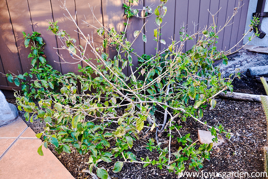 a lantana dallas red in late winter/early spring before pruning