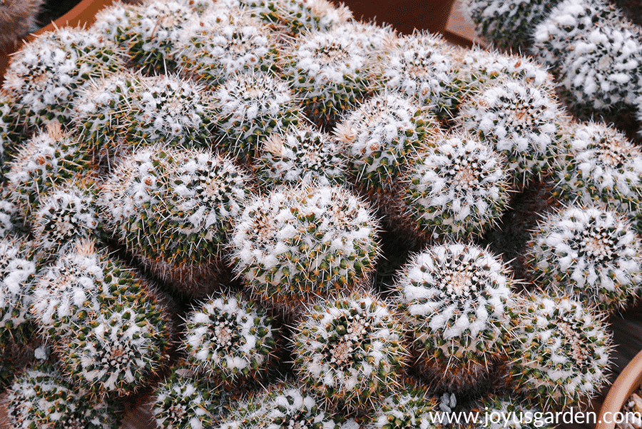 close up of a cactus bowl with white fuzzy hairs on top