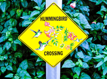 """a bright yellow sign which reads """"Hummingbird Crossing"""" in front of a green hedge"""