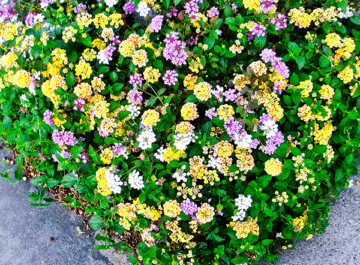close up of a mixture of yellow, lavender & white low growing lantana
