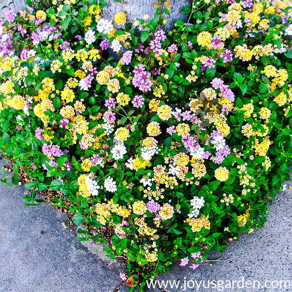 Pruning 2 Different Types Of Lantana In Spring Joy Us Garden