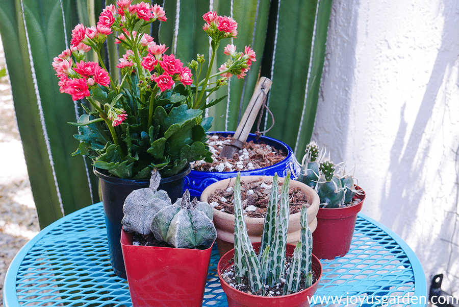 4 succulents, 1 of them blooming, surround 2 pots filled with succulent & cactus mix